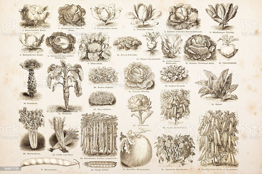 Engraving drawings vegetables from 1882 vector art illustration