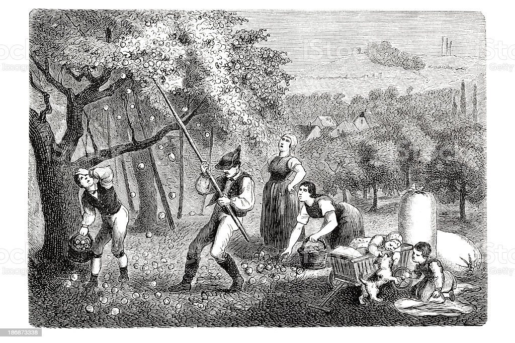 Engraving farmer picking apples at fruit plantation 1835 royalty-free stock vector art