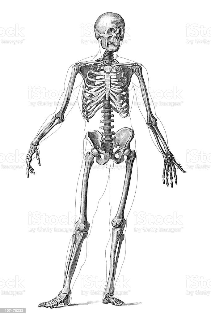 human skeleton clip art, vector images & illustrations - istock, Skeleton