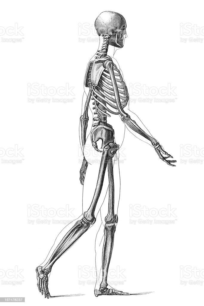 engraving human skeleton walking 1881 stock vector art 157478237, Skeleton