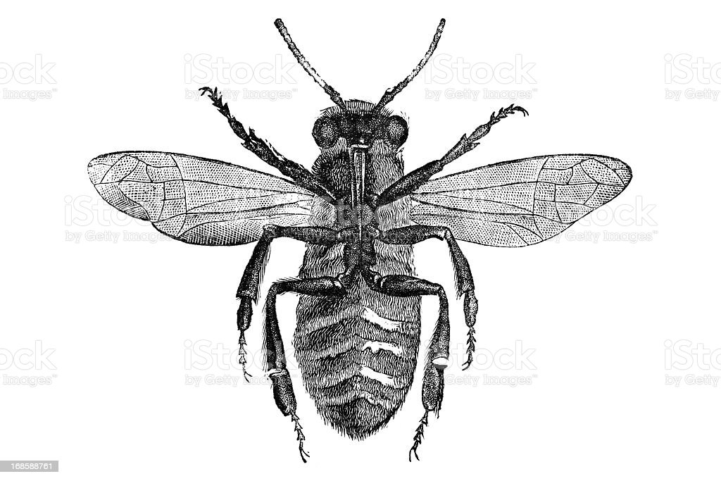 Engraving of bee bottom side vector art illustration