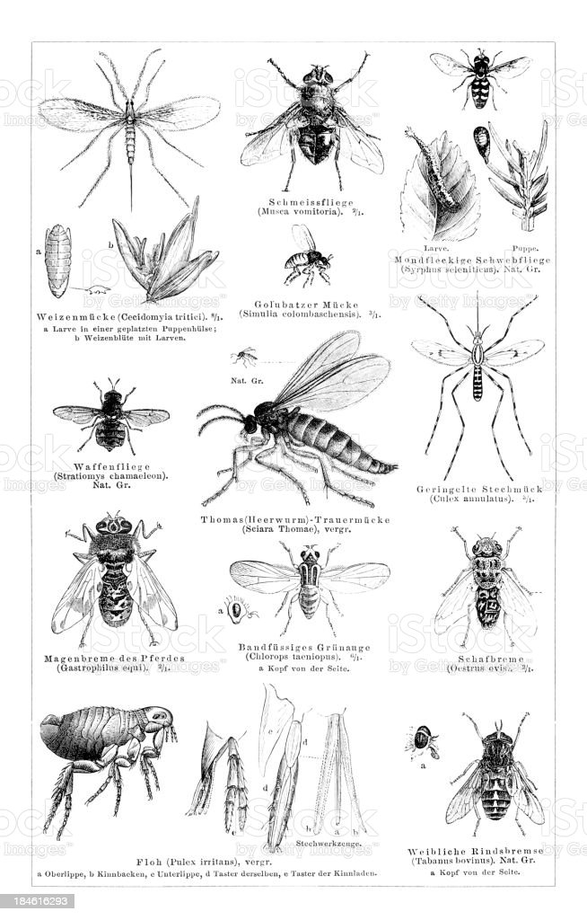 'Engraving of dipteras flea,horsefly,mosquito from 1878' vector art illustration