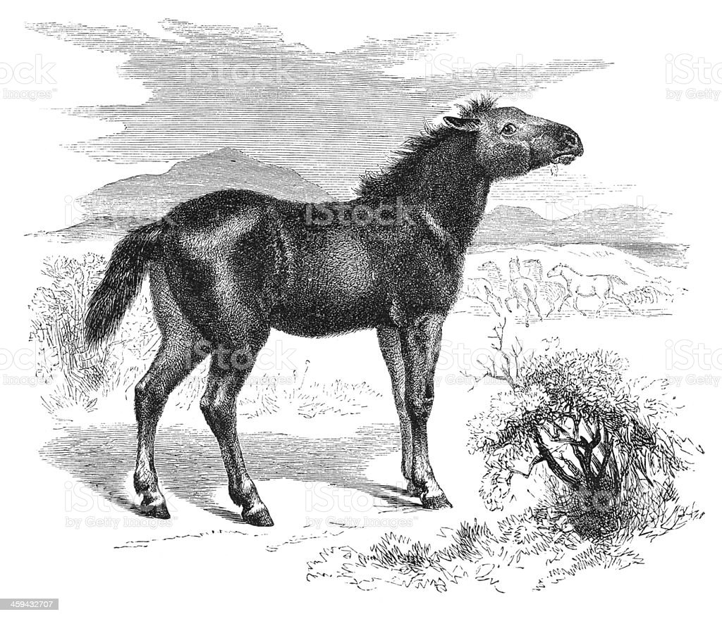 Engraving of extinct wild horse Tarpan from 1877 royalty-free stock vector art