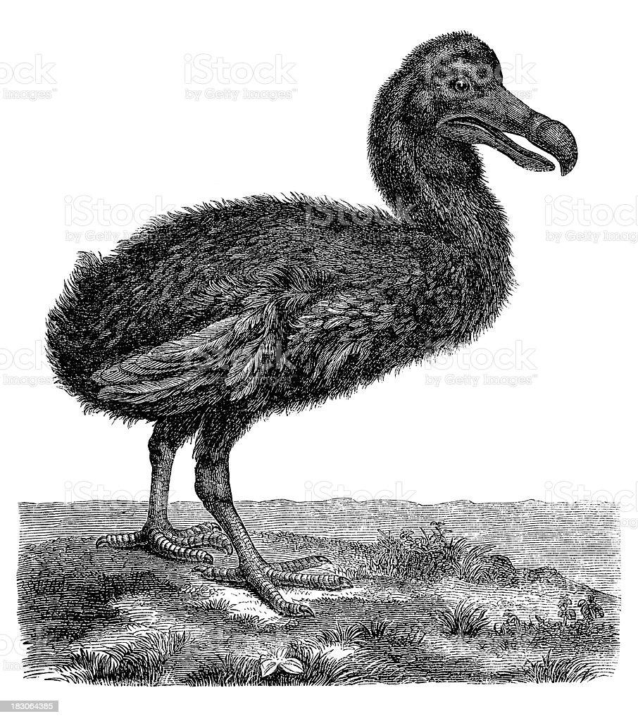 Engraving of extincted flightless bird Dodo royalty-free stock vector art