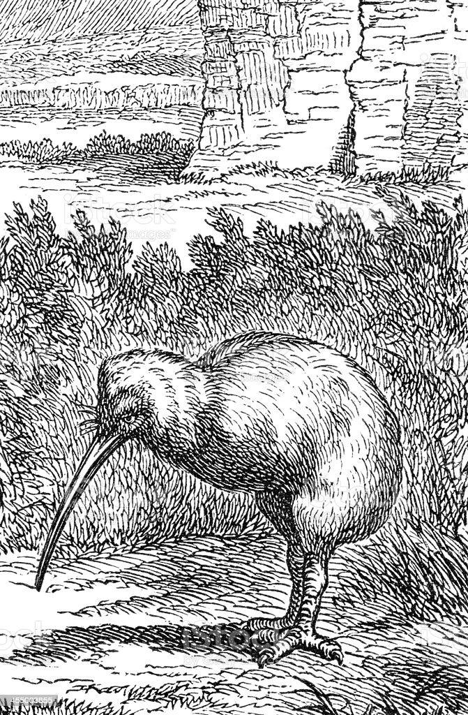 Engraving of flightless bird Kiwi in New Zealand royalty-free stock vector art