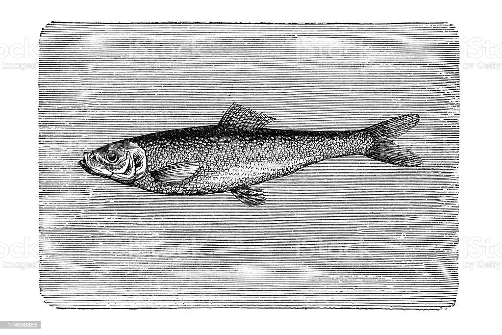 Engraving of herring fish swimming royalty-free stock vector art