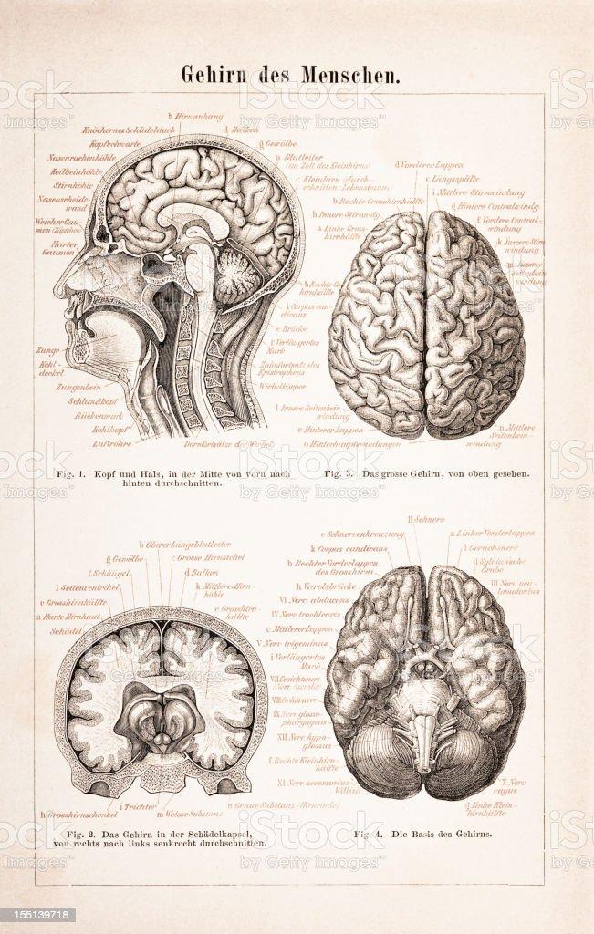 Engraving of human brain from 1878 vector art illustration