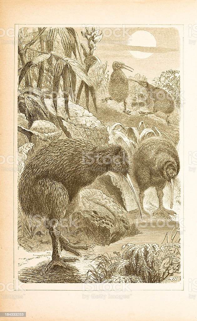 Engraving of kiwi from 1877 royalty-free stock vector art