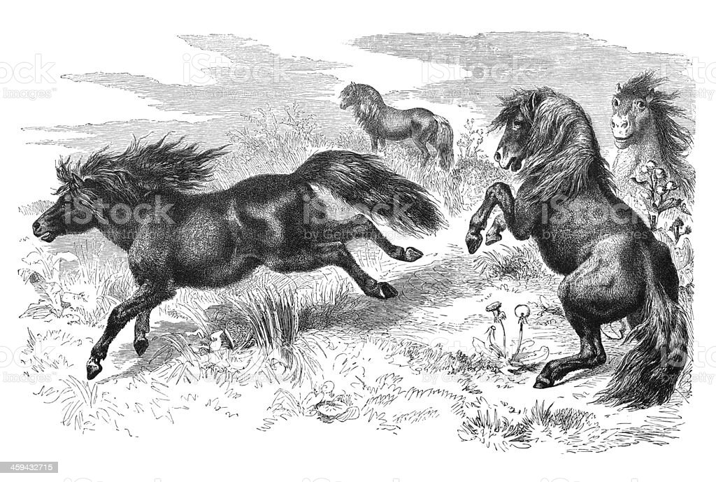 Engraving of Shetland pony from 1877 royalty-free stock vector art