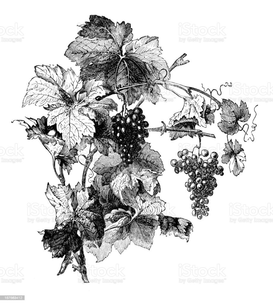 Engraving of wine grapes with leafes vector art illustration