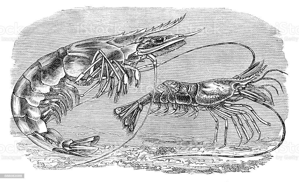 Engraving Prawn shrimp 1881 vector art illustration