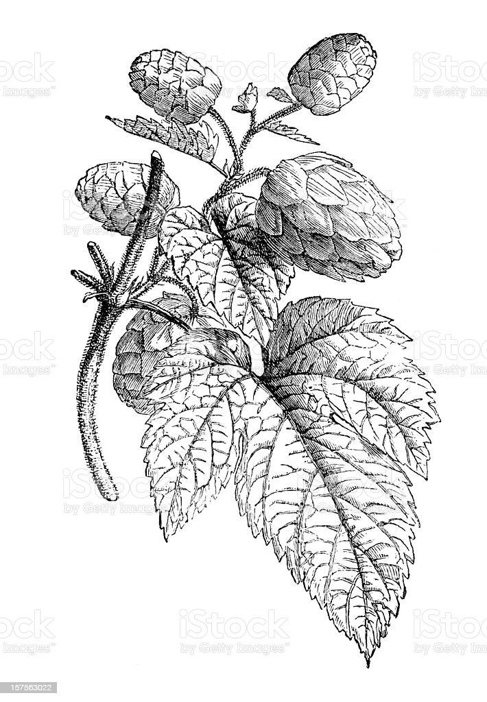 Engraving showing hop plant illustration 1882 vector art illustration