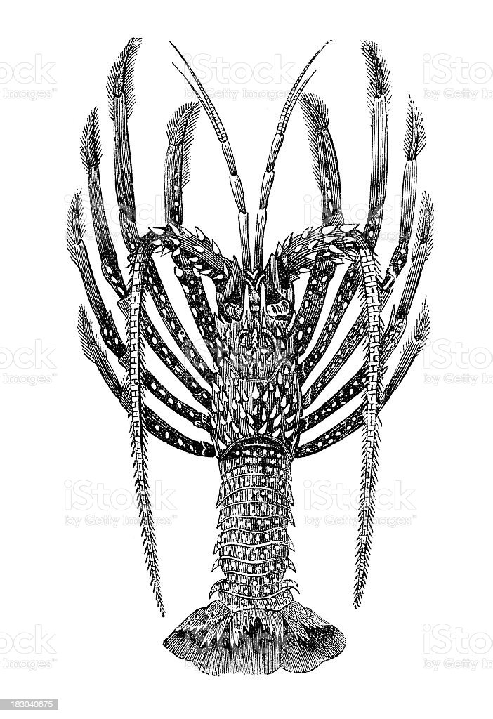 Engraving spiny lobster Palinurus royalty-free stock vector art
