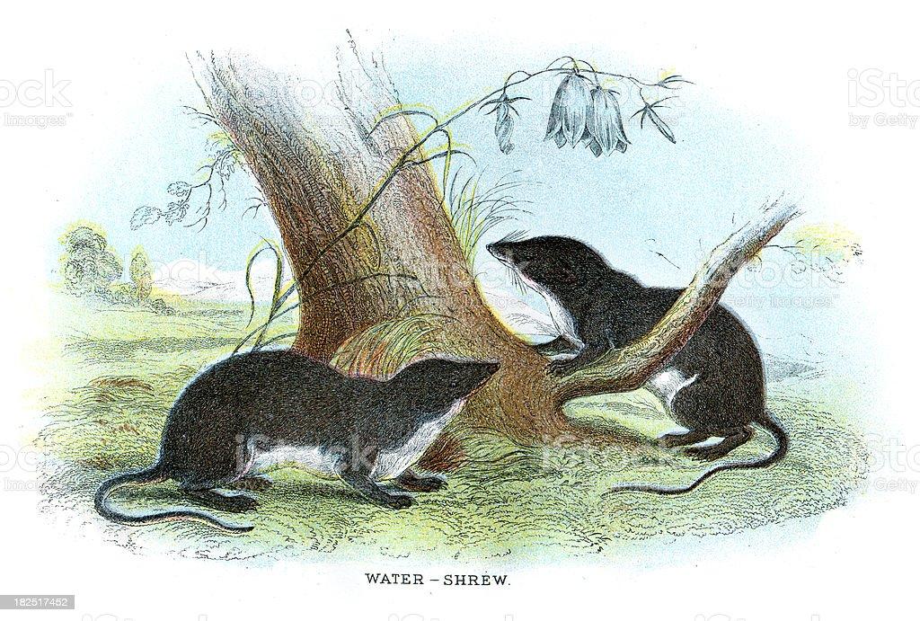 Eurasian Water Shrew vector art illustration