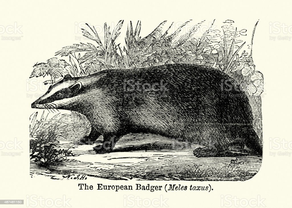 European badger vector art illustration