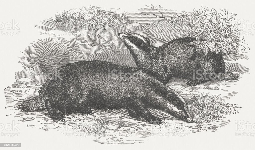 European badgers (Meles meles), wood engraving, published in 1875 royalty-free stock vector art