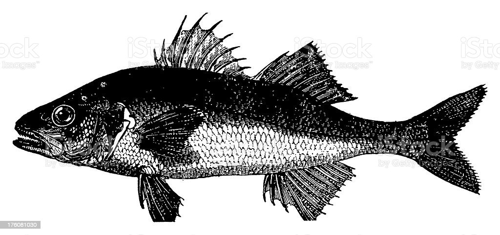 European bass | Antique Animal Illustrations royalty-free stock vector art