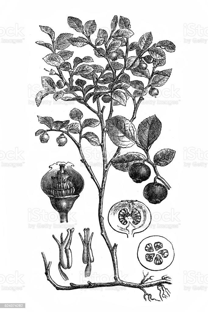 European blueberry (Vaccinium Myrtillus) vector art illustration
