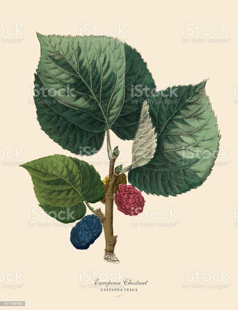 European Chestnut Tree, Victorian Botanical Illustration vector art illustration