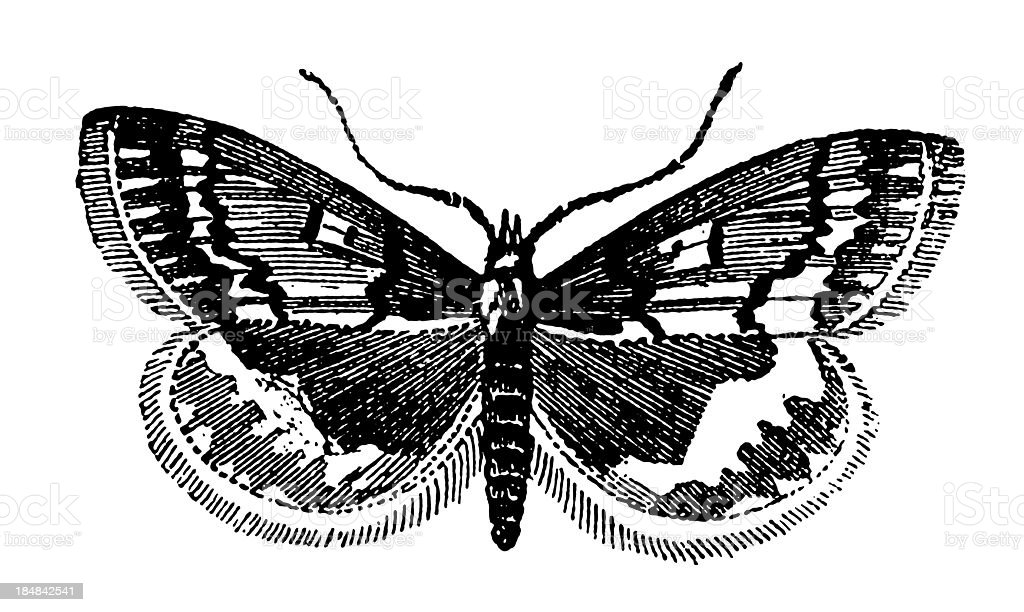 European Corn Borer (Ostrinia Nubilalis) vector art illustration