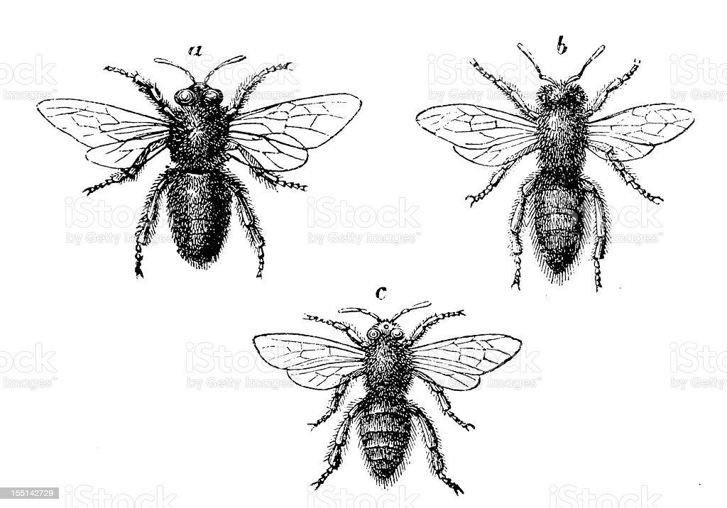 European Honey Bee (Apis Mellifera) royalty-free stock vector art