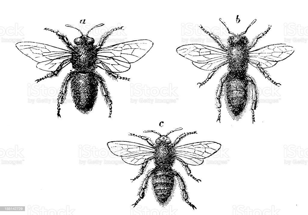 European Honey Bee (Apis Mellifera) vector art illustration