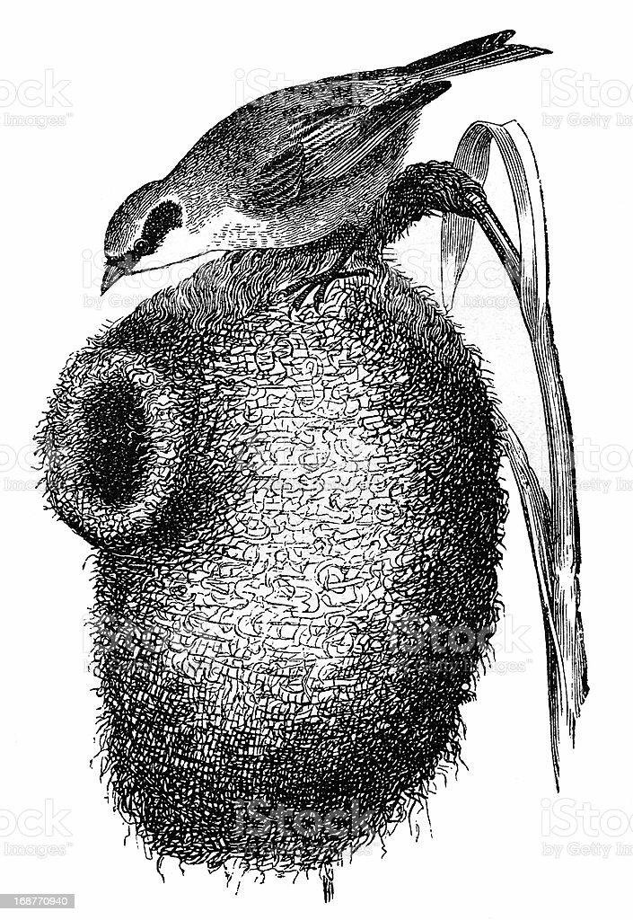 European Penduline Tit (Remiz Pendulinus) nest royalty-free stock vector art