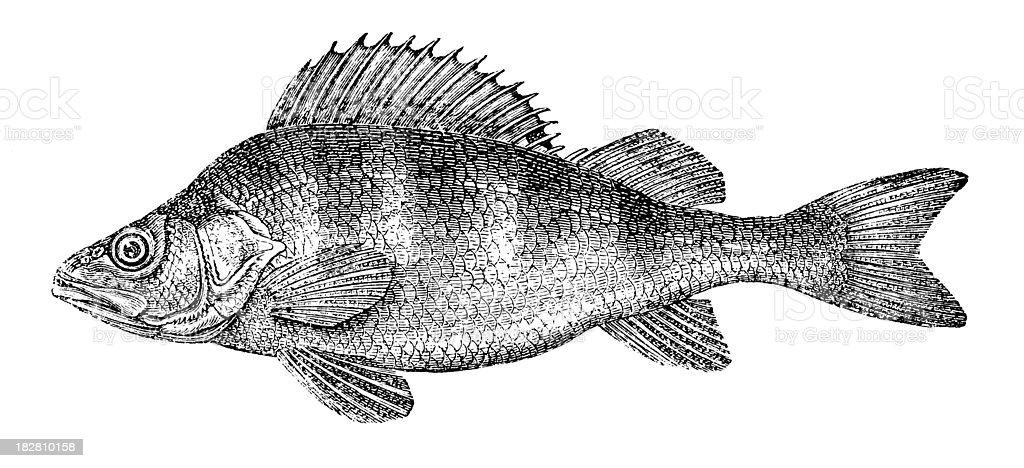 European Perch | Antique Animal Illustrations vector art illustration