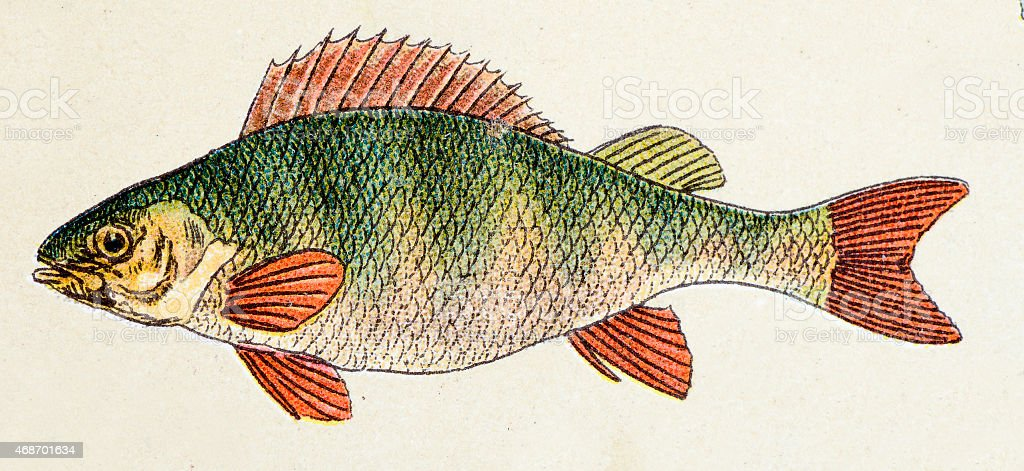 European perch, fish animals antique illustration vector art illustration