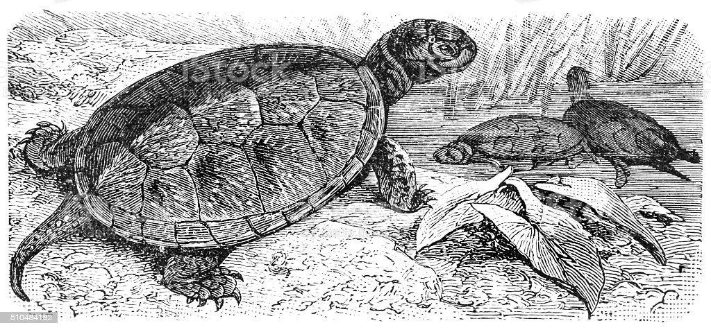 European pond turtle vector art illustration