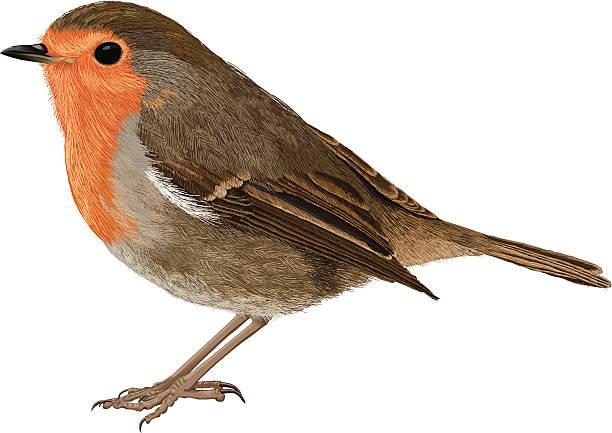 Robin Bird Clip Art, Vector Images & Illustrations - iStock