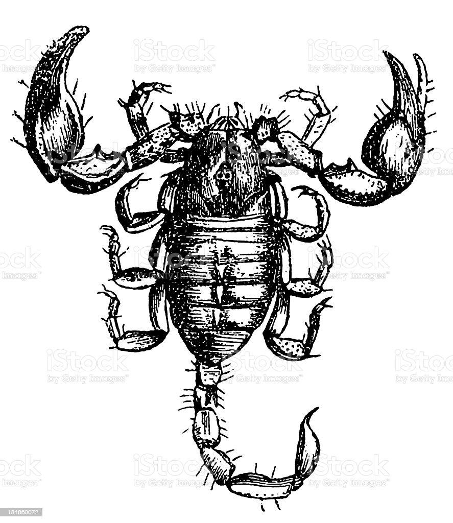 European Scorpion (Scorpio Europaeus) royalty-free stock vector art