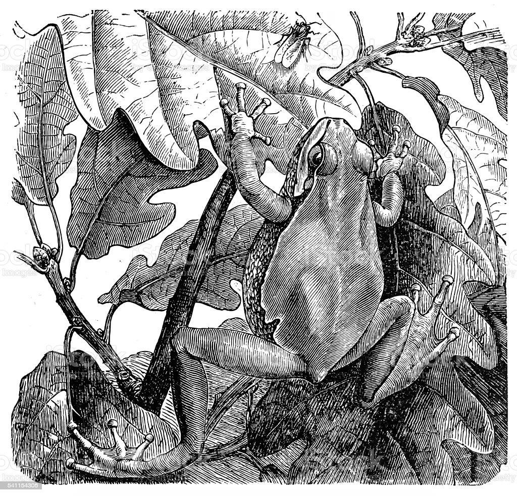 European tree frog (Hyla arborea) vector art illustration