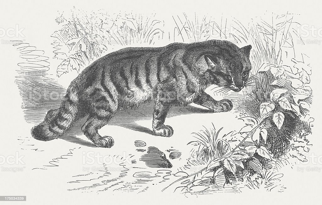 European Wild Cat (Felis silvestris), wood engraving royalty-free stock vector art