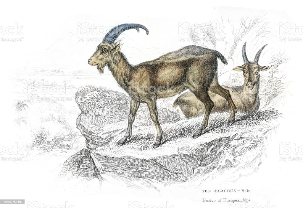 European wild goat lithograph 1884 vector art illustration