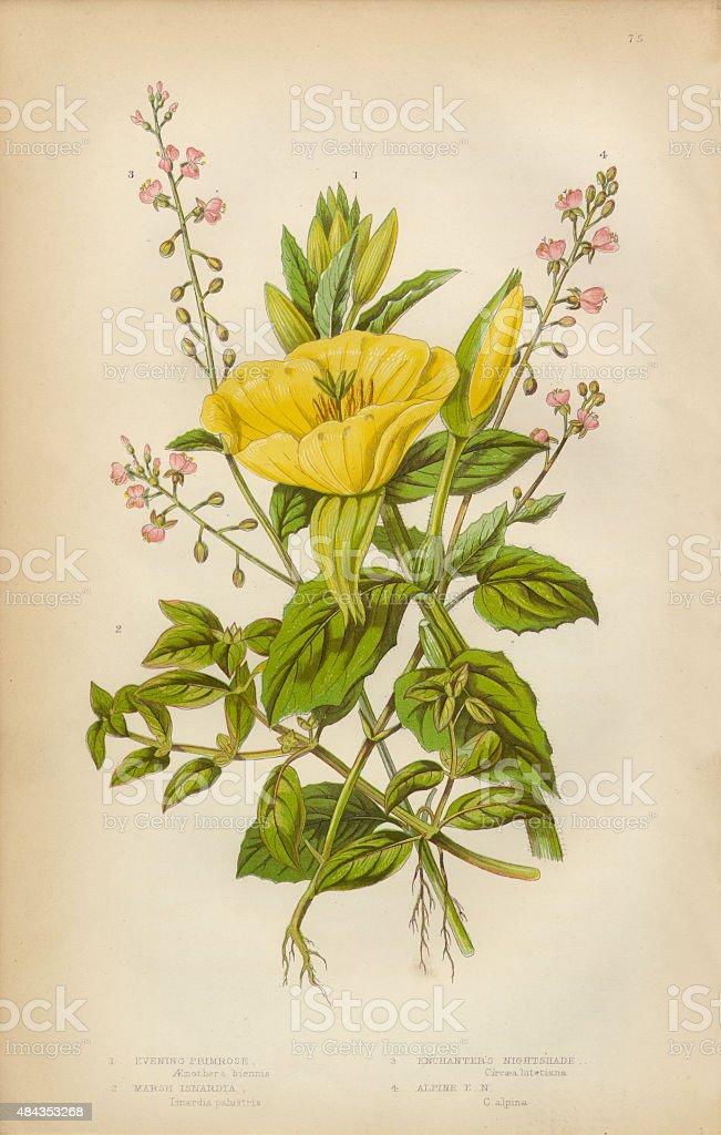 Evening Primrose, Primrose, Isnardia and Nightshade, Victorian Botanical Illustration vector art illustration