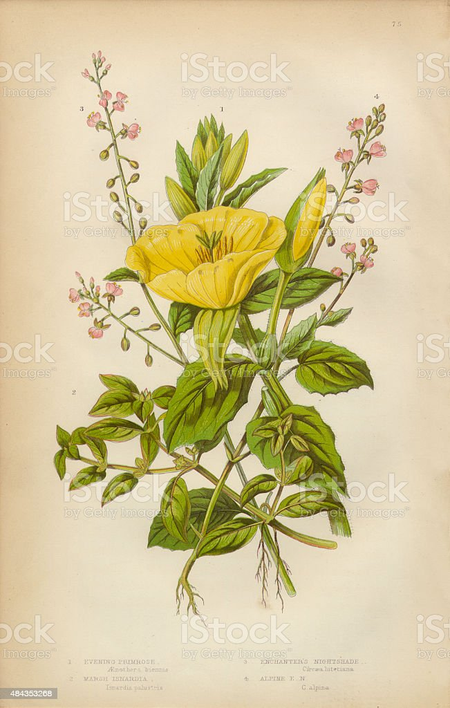 Evening Primrose, Primrose, Isnardia and Nightshade, Victorian Botanical Illustration vector art illustration