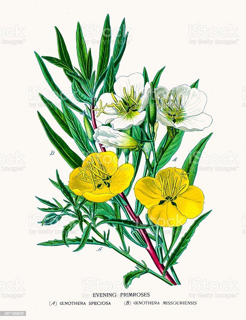 Evening primrose, suncups vector art illustration