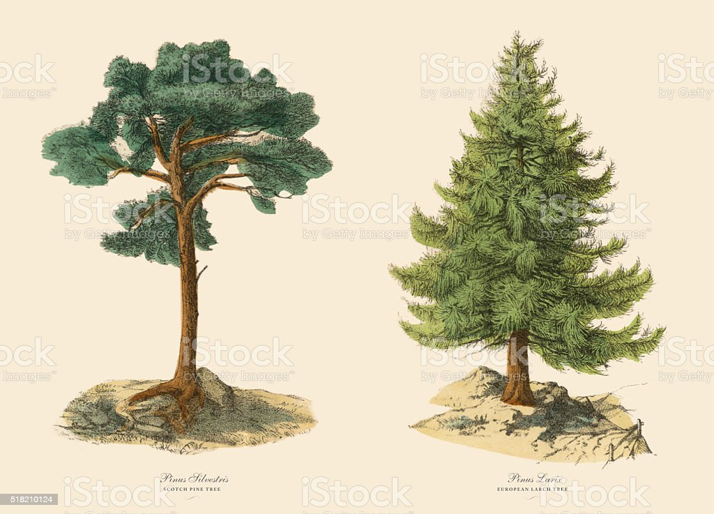 Evergreen Scotch Pine Tree and Larch, Victorian Botanical Illustration vector art illustration