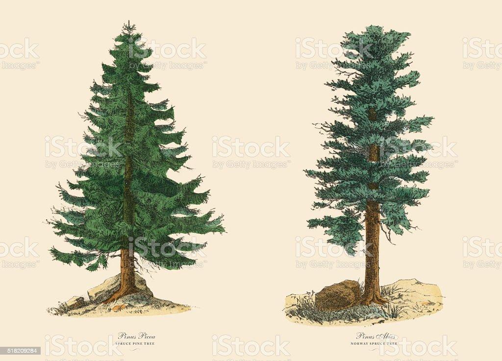 Evergreen Spruce Pine Tree and Norway Spruce, Victorian Botanical Illustration vector art illustration