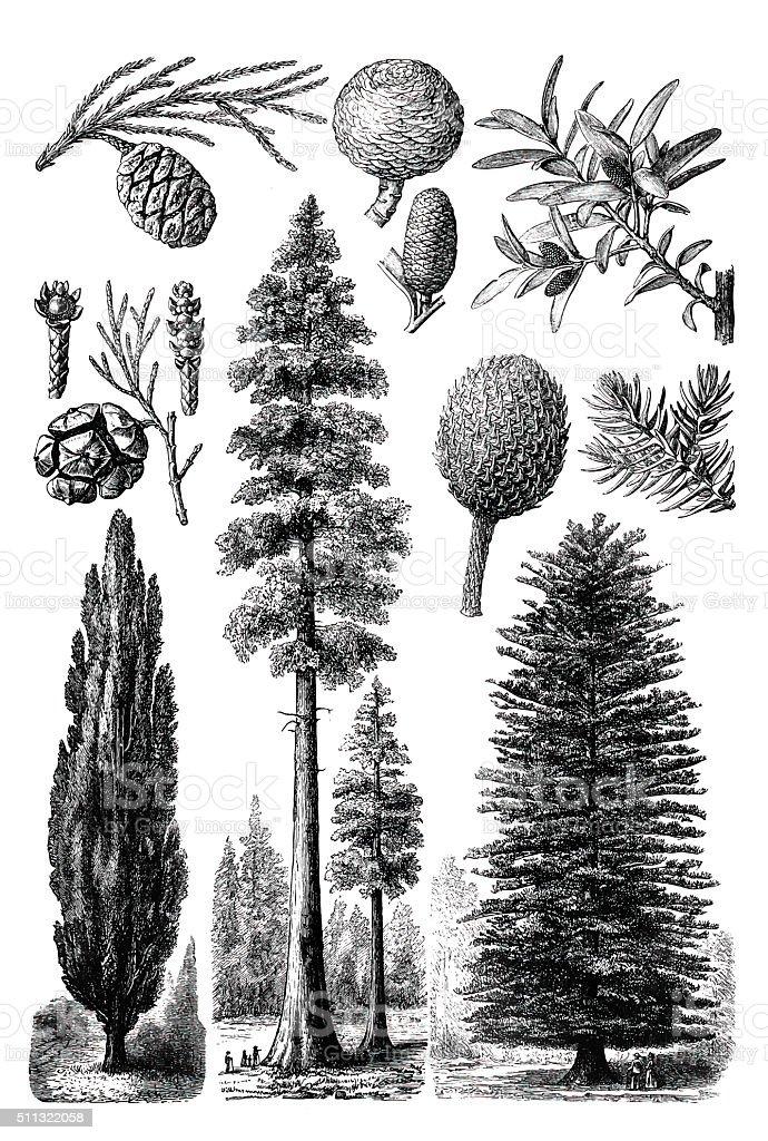 Evergreen trees vector art illustration