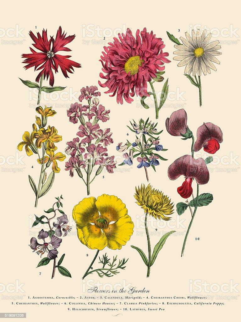 Exotic Flowers of the Garden, Victorian Botanical Illustration vector art illustration