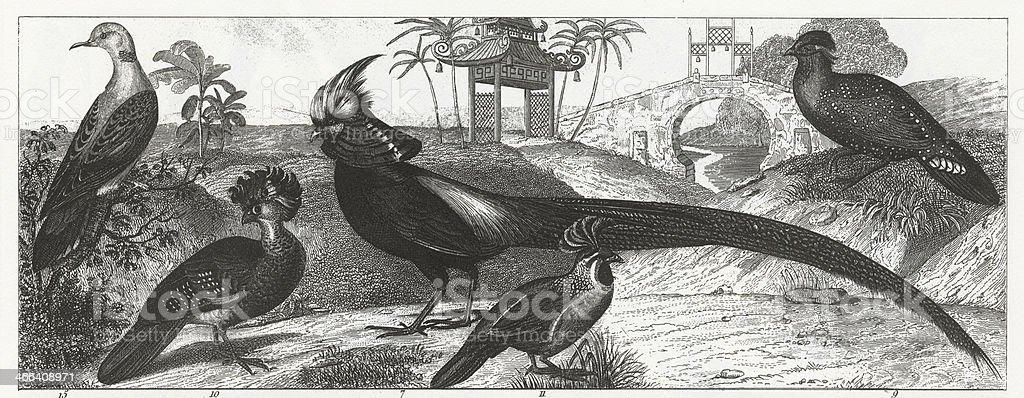 Exotic Gamebirds Engraving vector art illustration