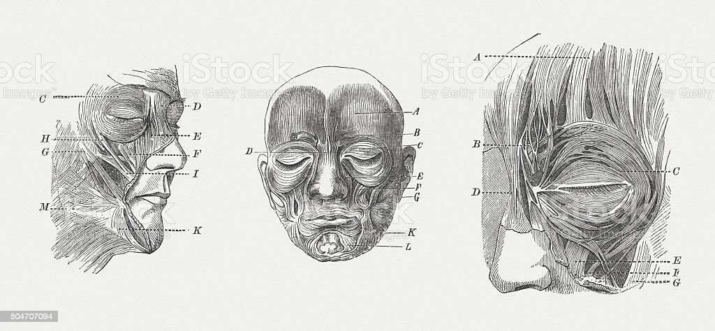 Facial muscles of man, wood engravings, published in 1873 vector art illustration