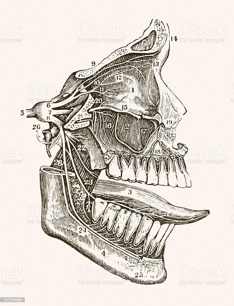 Facial Nerves 19 century medical illustration vector art illustration