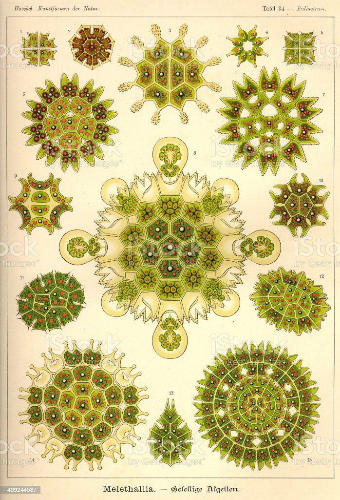 Fauna KdN t034 Pediastrum - Melethallia royalty-free stock vector art