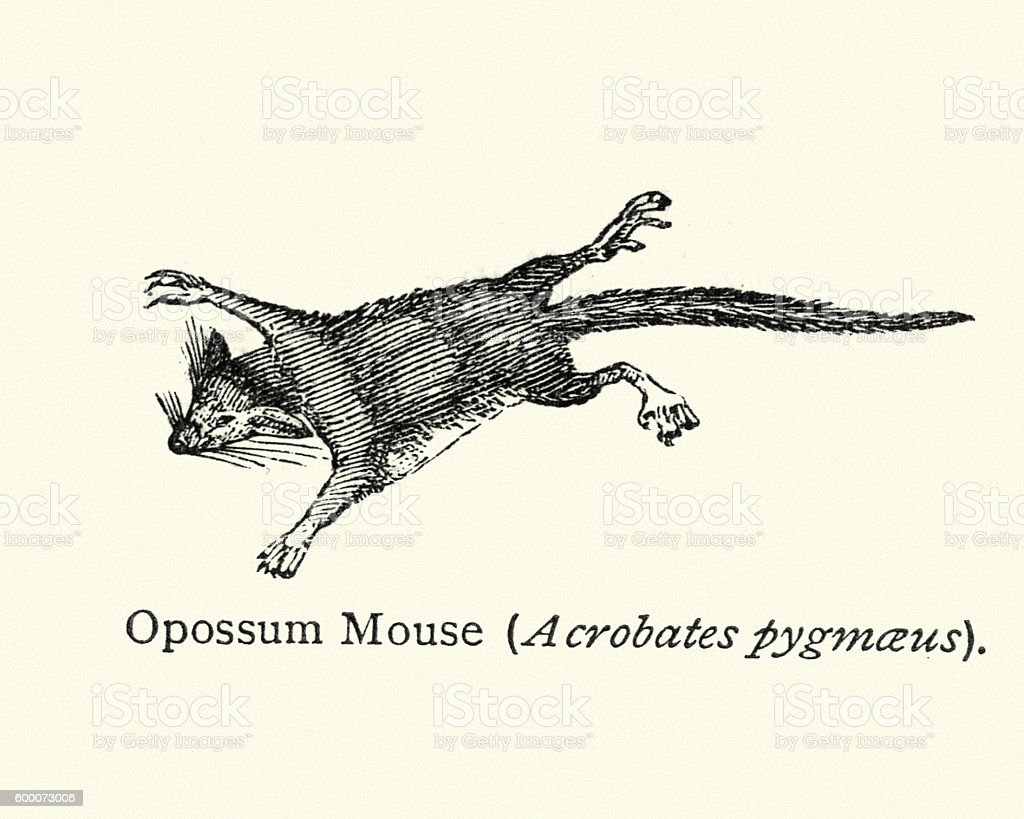 Feathertail glider (Acrobates pygmaeus), vector art illustration