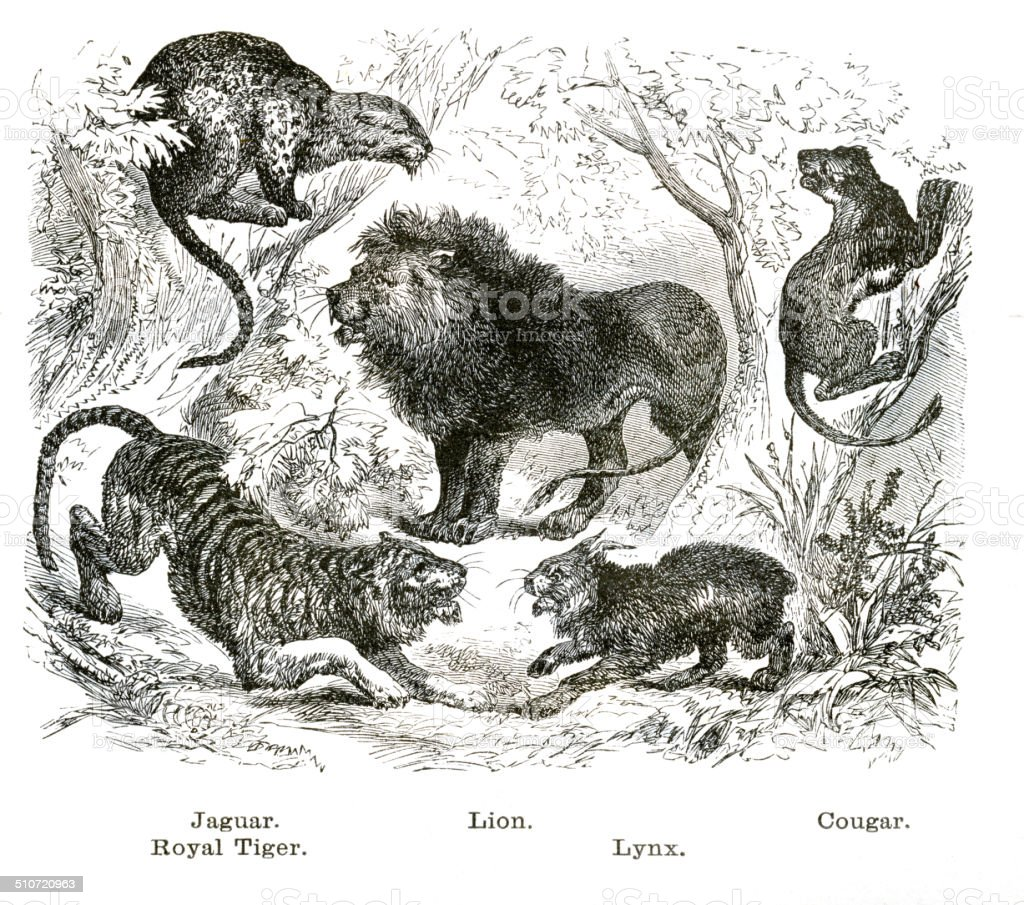 Felines engraving illustration vector art illustration