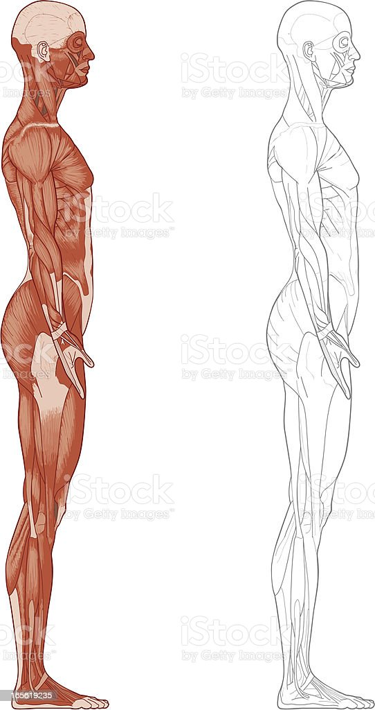 Female body, muscles royalty-free stock vector art
