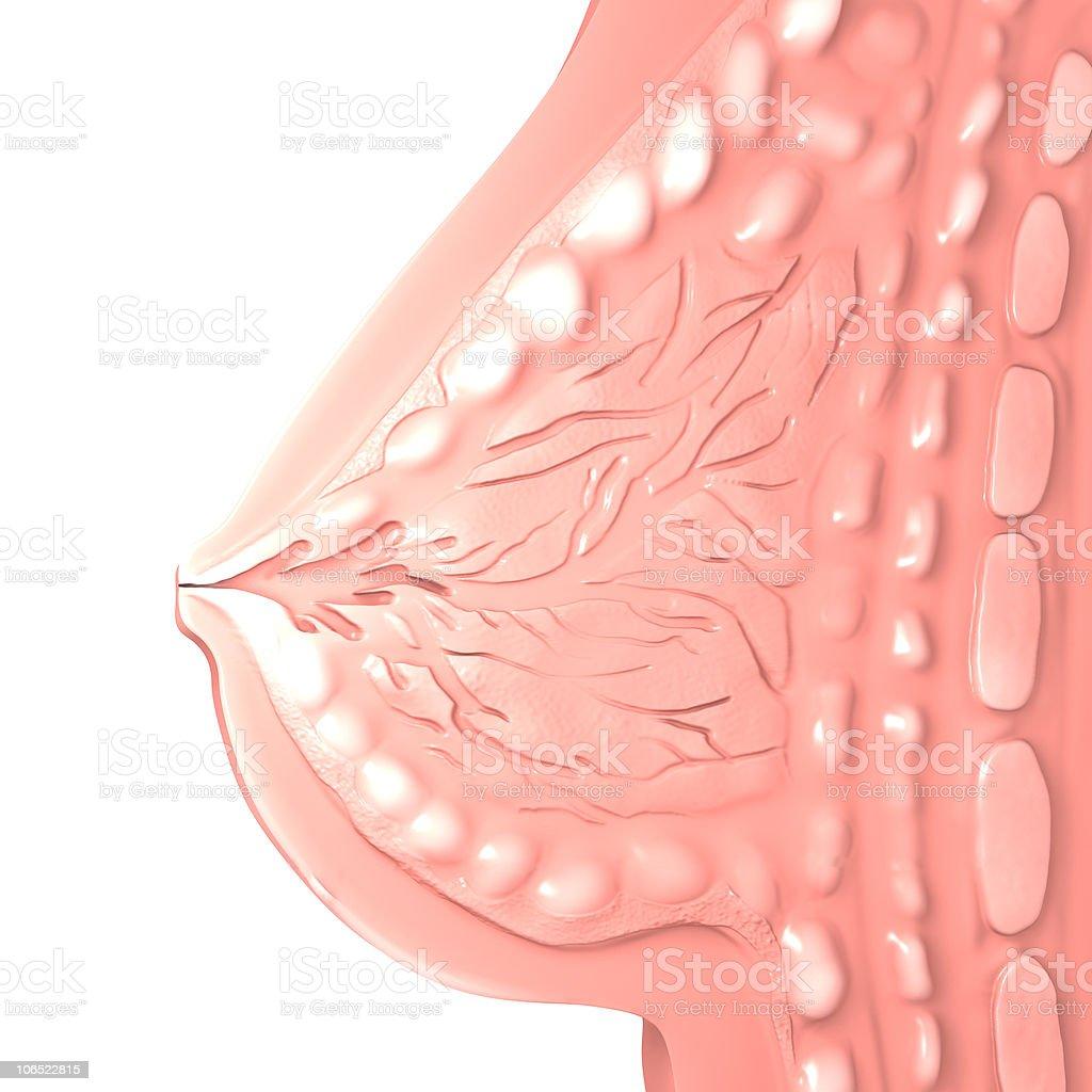 Female Breast vector art illustration